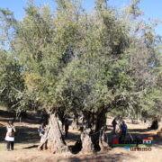 Olea europaea L. - Um dos seres vivos mais velhos do mundo