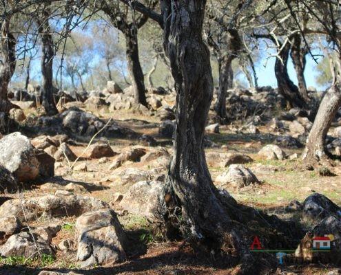 Troncos de oliveiras