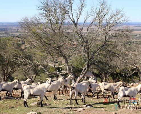 Cabras e árvores