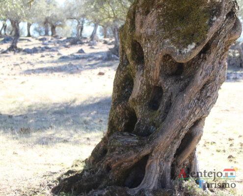 Tronco de oliveira