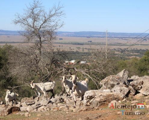 Cabras em cima de pedras