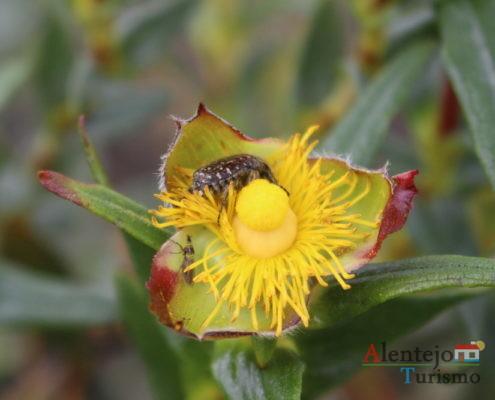 Flor da esteva com inseto