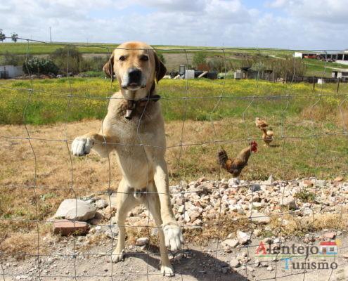 Cão e galinhas