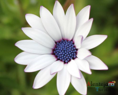 Flor branca e centro azul