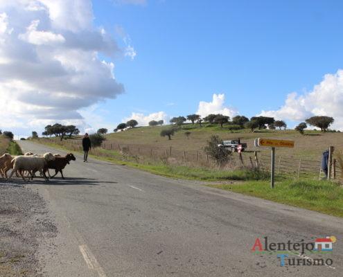 Rebanho a atravessar a estrada - mudança de pasto das ovelhas