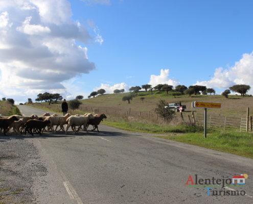 Rebanho na estrada - mudança de pasto das ovelhas