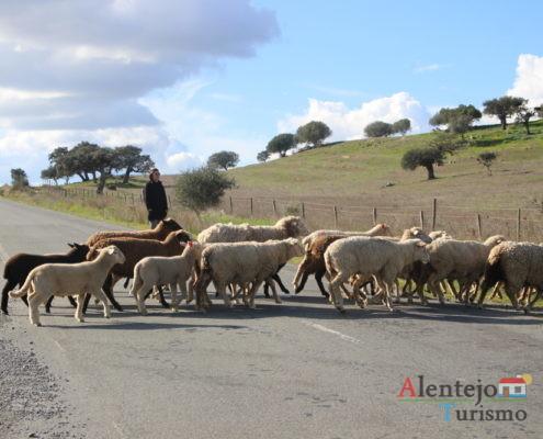 Mudança de pasto das ovelhas: rebanho a atravessar a estrada