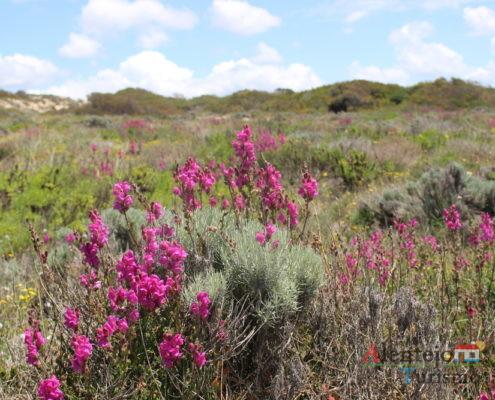 Dunas - primavera - Parque Natural do Sudoeste Alentejano e Costa Vicentina