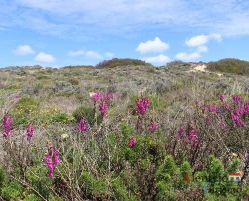 Dunas floridas - Parque Natural do Sudoeste Alentejano e Costa Vicentina