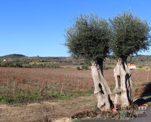 Oliveir com tronco em forma de casa