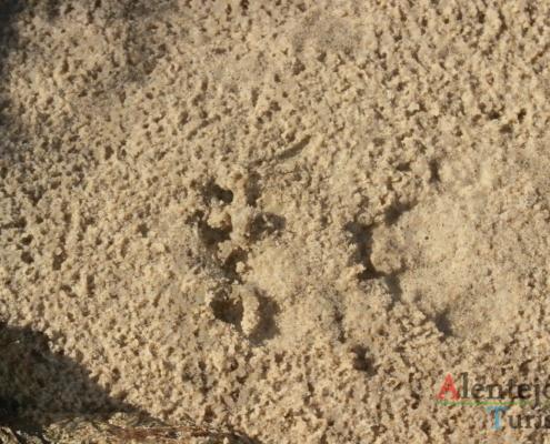 Pegada de lontra