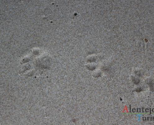 Praia da Foz do Burrinho: pegadas de lontra