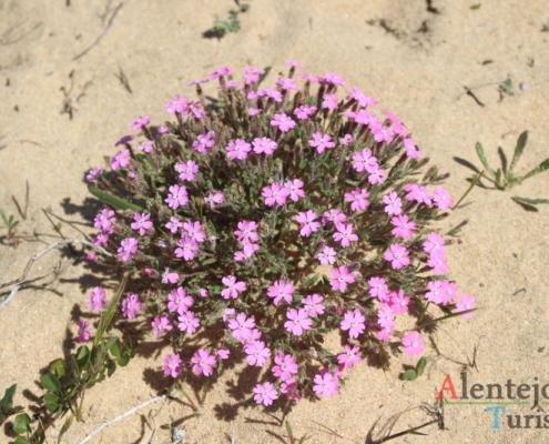 Vegetação das dunas - Alentejo Litoral