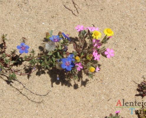 Flores nas dunas