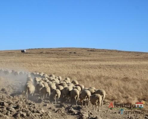 Ovelhas - Rota CM1138 - Rota das Abetardas - Reserva da Biosfera da UNESCO