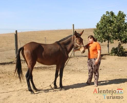 A mula nas lides do campo - Museu vivo – Grandaços – Concelho de Ourique - Alentejo