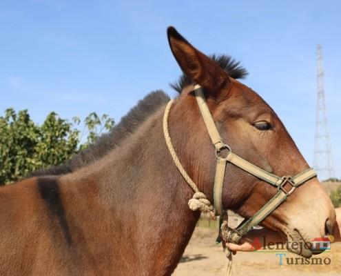 A mula nas lides do campo- Museu vivo – Grandaços – Concelho de Ourique - Alentejo