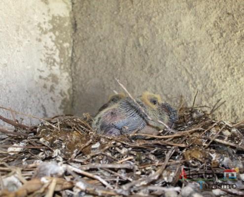 Borrachos – pombos - Alentejo