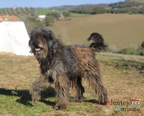 O cão do pastor alentejano