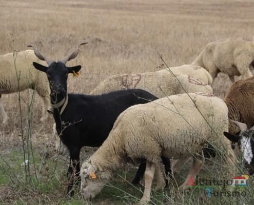 O rebanho - pastor alentejano