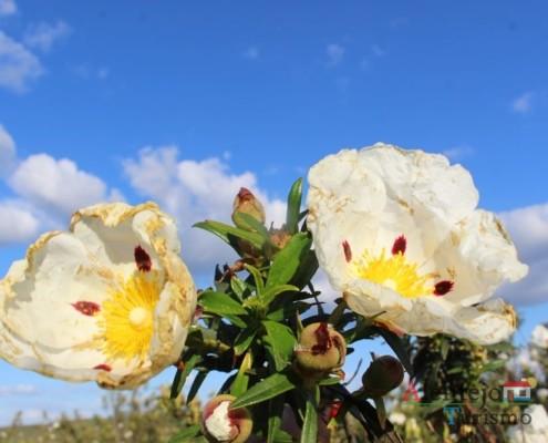 Estevas- Campos na primavera – atubras ou trufas alentejanas - concelho de Mértola - Alentejo
