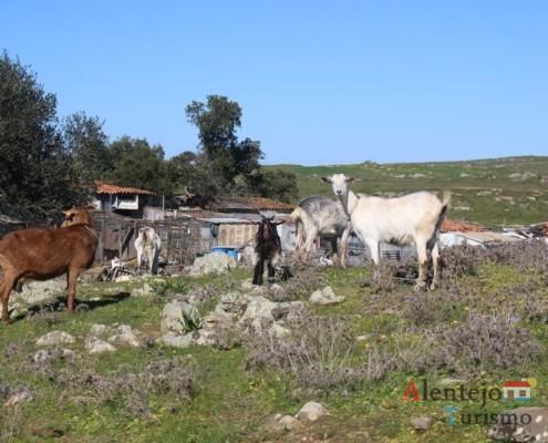 Durante o dia, os animais circulam livremente na zona do Regréssimo; Geraldos; Concelho de Castro Verde; Alentejo.