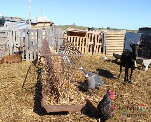Fraca ou galinha pintada, galinha e cabras; Regréssimo; Geraldos; Concelho de Castro Verde; Alentejo.