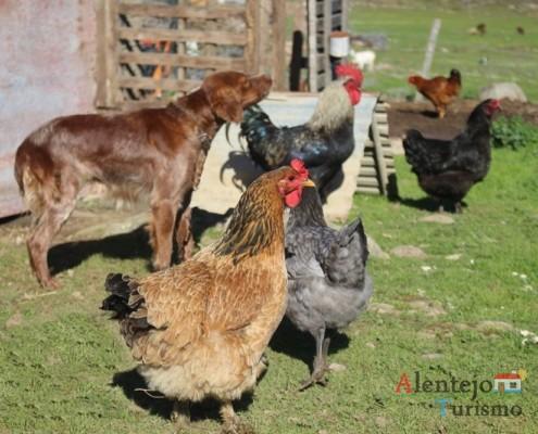 As galinhas, perante os estranhos, encontram proteção junto do cão de guarda; Regréssimo; Geraldos; Concelho de Castro Verde; Alentejo.