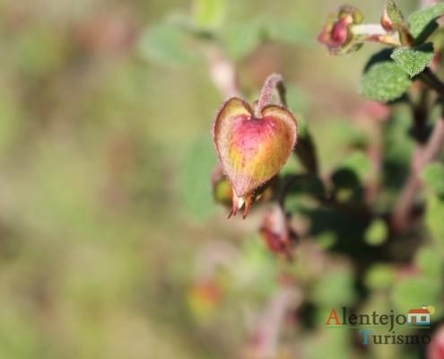 Estevão macho - ervas medicinais do Alentejo
