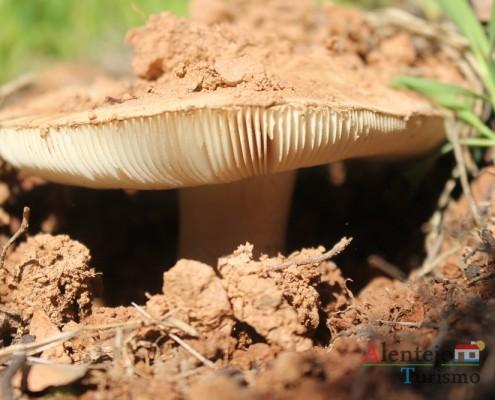 Cogumelos; Silarca ou tortulho (Amanita Ponderosa) – gastronomia – Alentejo - AlentejoTurismo