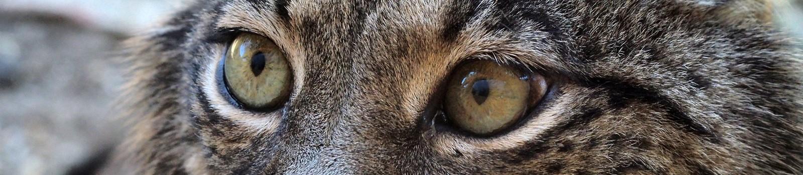 Lince-Ibérico (Lynx pardinus)