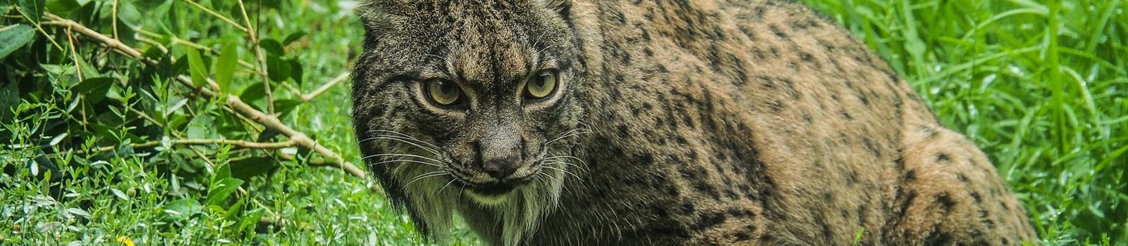 Lince_ibérico (Lynx pardinus); Alentejo; Portugal; AlentejoTurismo