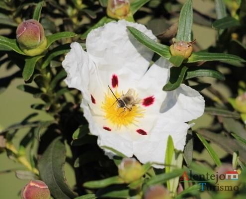 A esteva, uma valente solitária; Flora e Vegetação; Alentejo; Portugal
