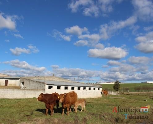 Labuta; Expressões Alentejana;vacas; Alentejo; Portugal; AlentejoTurismo