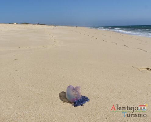 Caravela-portuguesa (Physalia Physalis); praias alentejanas; Alentejo; AlentejoTurismo