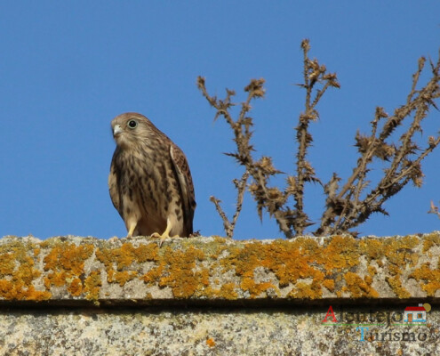 Peneireiro-das-torres (Falco naumanni); Casével; Concelho de Castro Verde; Alentejo